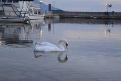 Cisne en el lago Ohrid en el ocaso imagenes de archivo
