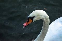 Cisne en el lago Pogoria fotografía de archivo
