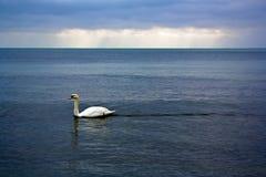 Cisne en el mar Imágenes de archivo libres de regalías