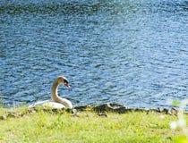 Cisne en el parque Fotografía de archivo libre de regalías