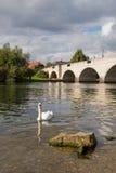 Cisne en el río imagenes de archivo