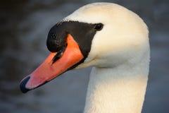 Cisne en el río Fotografía de archivo libre de regalías