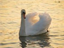 Cisne en el río Foto de archivo libre de regalías
