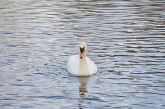 Cisne en el río Fotos de archivo libres de regalías