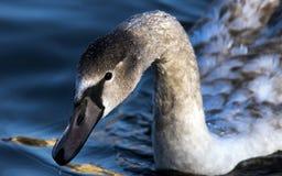 Cisne en el río de Moldava fotografía de archivo libre de regalías