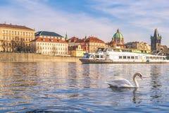 Cisne en el río de Moldava en Praga Fotografía de archivo