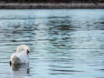 Cisne en el río Rhin imágenes de archivo libres de regalías