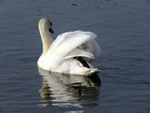 Cisne en el simple Imágenes de archivo libres de regalías