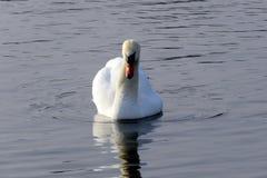 Cisne en el simple Fotos de archivo