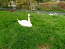 Cisne en hierba al lado del lago Fotos de archivo