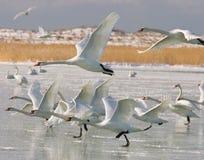 Cisne en invierno Imagen de archivo