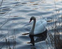 Cisne en invierno, río frío imagen de archivo libre de regalías