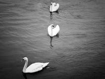 Cisne en Irlanda Foto de archivo libre de regalías