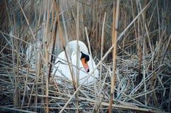 Cisne en jerarquía Fotos de archivo libres de regalías