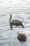 Cisne en la charca foto de archivo