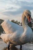 Cisne en la charca imagenes de archivo