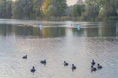 Cisne en la charca fotografía de archivo