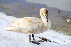 Cisne en la charca Imágenes de archivo libres de regalías