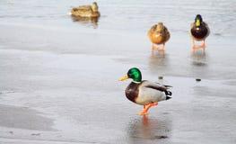 Cisne en la charca Imagen de archivo libre de regalías