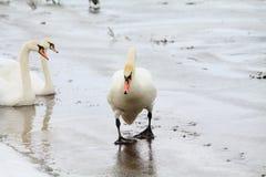 Cisne en la charca Foto de archivo libre de regalías