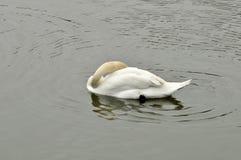 Cisne en la charca Fotografía de archivo libre de regalías