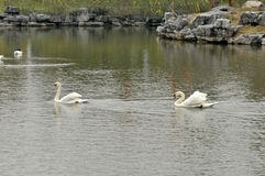 Cisne en la charca Fotos de archivo libres de regalías