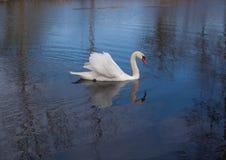 Cisne en la charca Fotos de archivo