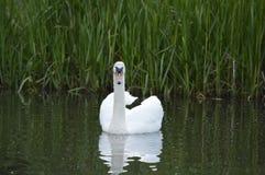 Cisne en la charca, relajándose en día soleado Fotos de archivo libres de regalías