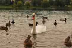 Cisne en la ciudad de Goryachiy Kluch Imagenes de archivo