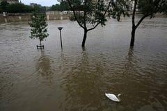 Cisne en la inundación de río Sena en París imagenes de archivo