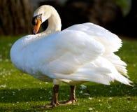Cisne en la libertad Imagen de archivo libre de regalías