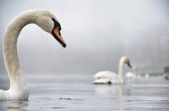 Cisne en la niebla Fotografía de archivo libre de regalías