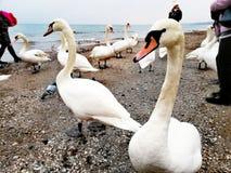 Cisne en la orilla de mar imagen de archivo