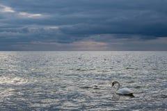 Cisne en la orilla del mar Báltico Fotografía de archivo libre de regalías