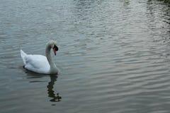 Cisne en la piscina imagen de archivo