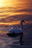 Cisne en la puesta del sol Imagen de archivo libre de regalías