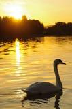 Cisne en la puesta del sol Fotografía de archivo libre de regalías