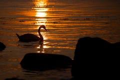 Cisne en la puesta del sol Fotos de archivo libres de regalías