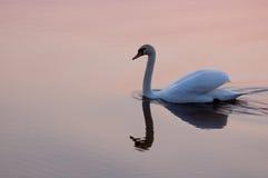 Cisne en la puesta del sol 7785 Imagen de archivo libre de regalías