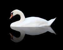 Cisne en negro Fotos de archivo