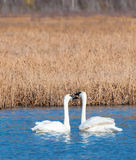 Cisne en pantano de los alfareros Foto de archivo