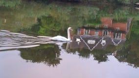 Cisne en Sabrina Imagenes de archivo