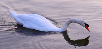 Cisne en Silver Lake Foto de archivo