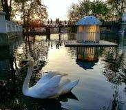 Cisne en su lago Imagen de archivo libre de regalías