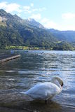 Cisne en Suiza Imagen de archivo libre de regalías