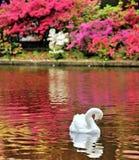 Cisne en un lago imagenes de archivo