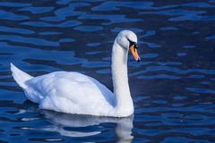 Cisne en un lago fotos de archivo