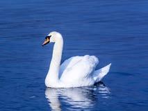 Cisne en un lago imagen de archivo libre de regalías