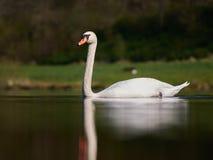 Cisne en un lago Foto de archivo libre de regalías