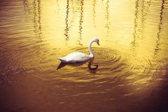 Cisne en un lago de oro Imágenes de archivo libres de regalías